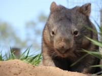Вомбаты — места обитания, виды, питание, образ жизни и интересные факты + 84 фото