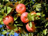 Яблоня: выбор саженца, когда сажать, уход, сбор урожая, сорта и болезни яблони. (120 фото дерева)