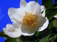 Жасмин — фантастически ароматный и нежный цветок + 93 фото