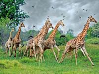Жираф — внешность, характеристики, окрас, сон, проблема вымирания, еда + 91 фото
