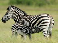 Зебра — места обитания, внешний вид, рацион и поведение, цикл жизни + 94 фото