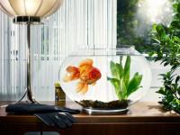 Золотая рыбка — выбор, основные виды, уход, питание + 65 фото