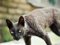 Кошка породы Корниш Рекс (Cornish Rex) — особенности породы, характер, здоровье, питание, цена + 101 фото