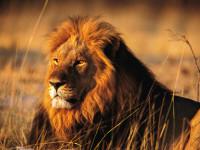 Лев — гендерные различия, жизненные циклы, добычи и основные враги + 102 фото