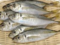 Ставрида — описание, виды, места обитания, питание, нерест, рецепты блюд + 95 фото