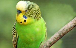 Виды домашних и говорящих попугаев, их характеристика и особенности поведения