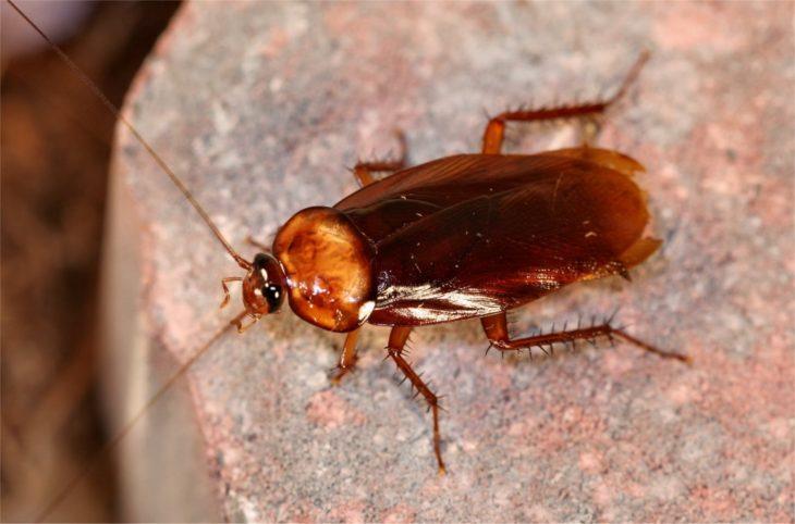 Общее строение тараканов