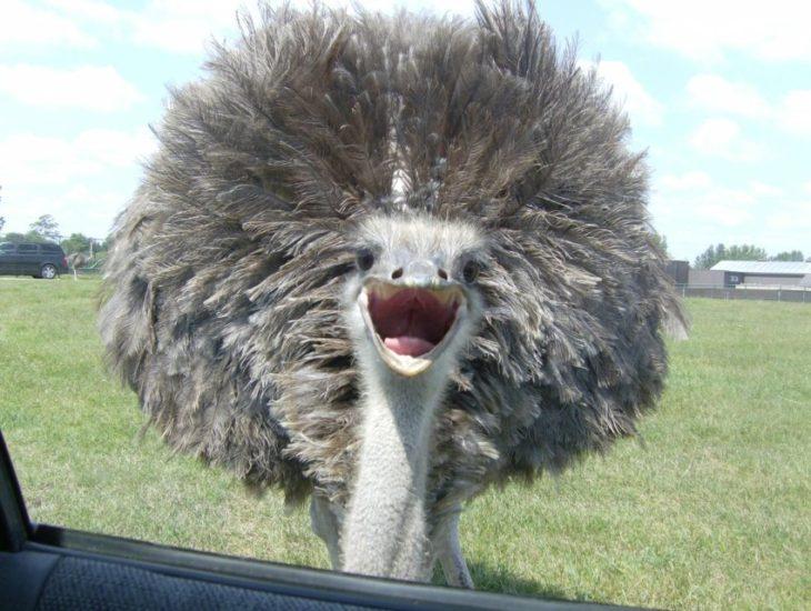 Член у страуса видео