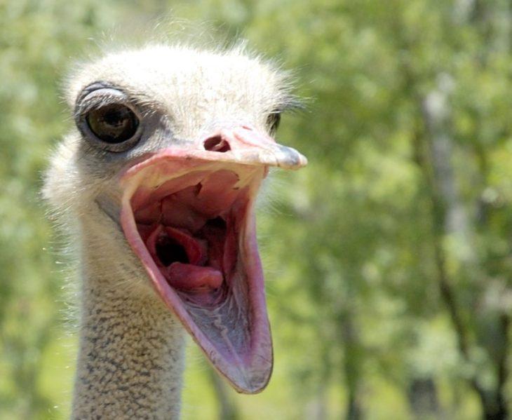 Есть у страуса член