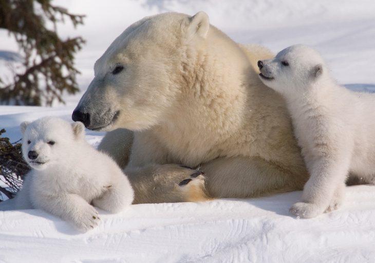 Polar-bear-21 Медведь белый - это... Что такое Медведь белый?