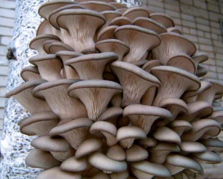грибы вешенки фото