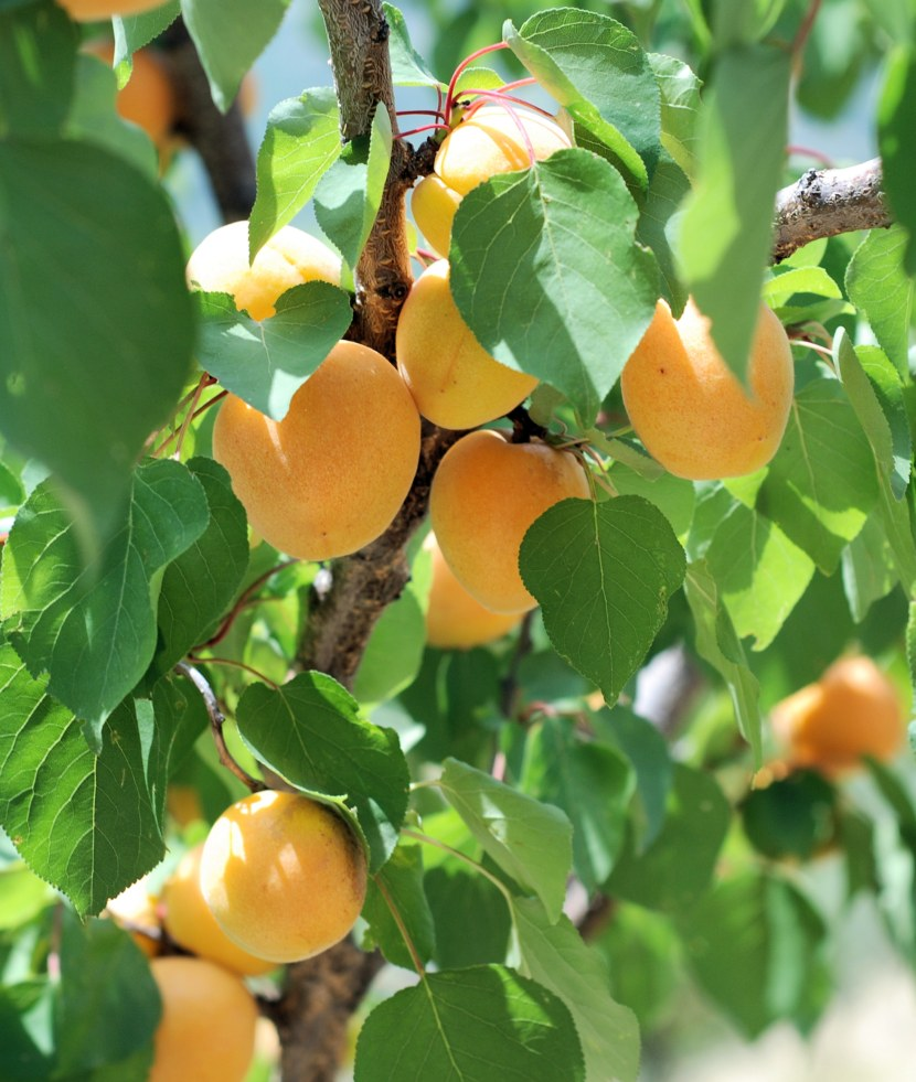 Абрикосовое дерево фото