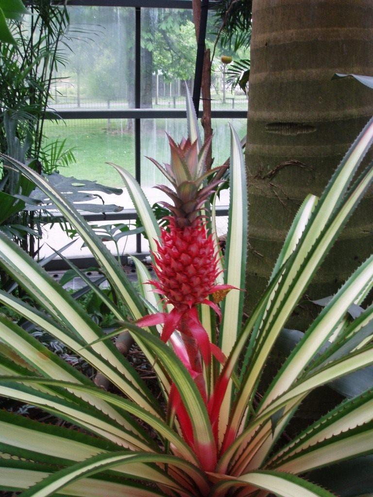 Комнатный ананас: уход в домашних условиях, фото, цветение