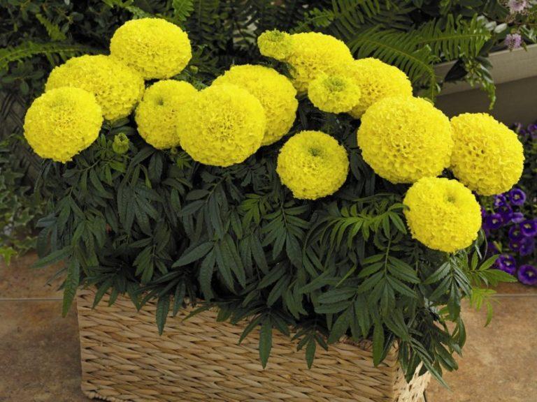 Тагетес, бархатцы – выращивание, фото цветов, сорта и виды ...