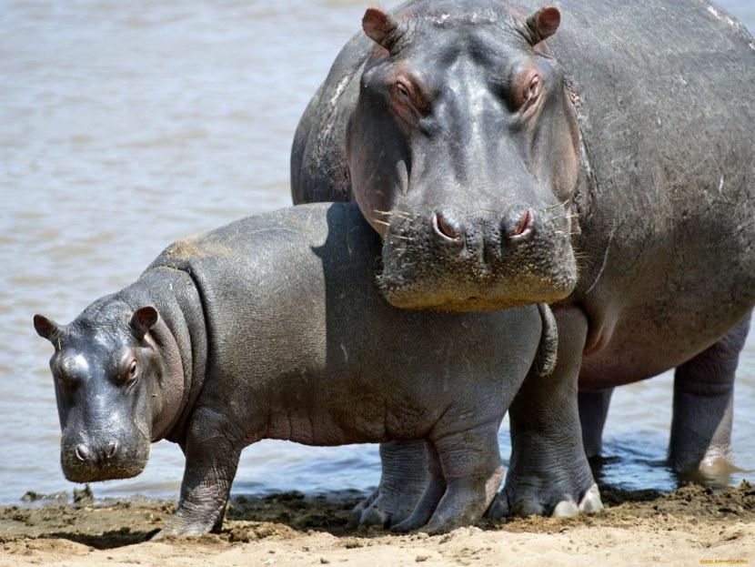 Бегемот (гиппопотам) - 110 фото и фактов удивительного животного