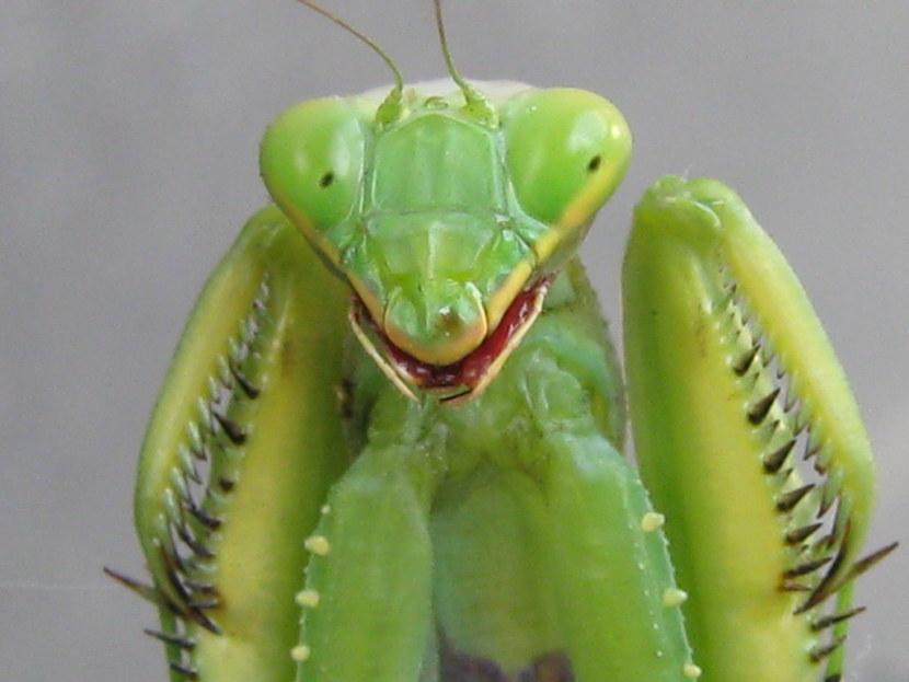 Богомол — описание, основные враги, сроки жизни, среда обитания, питание и размножение
