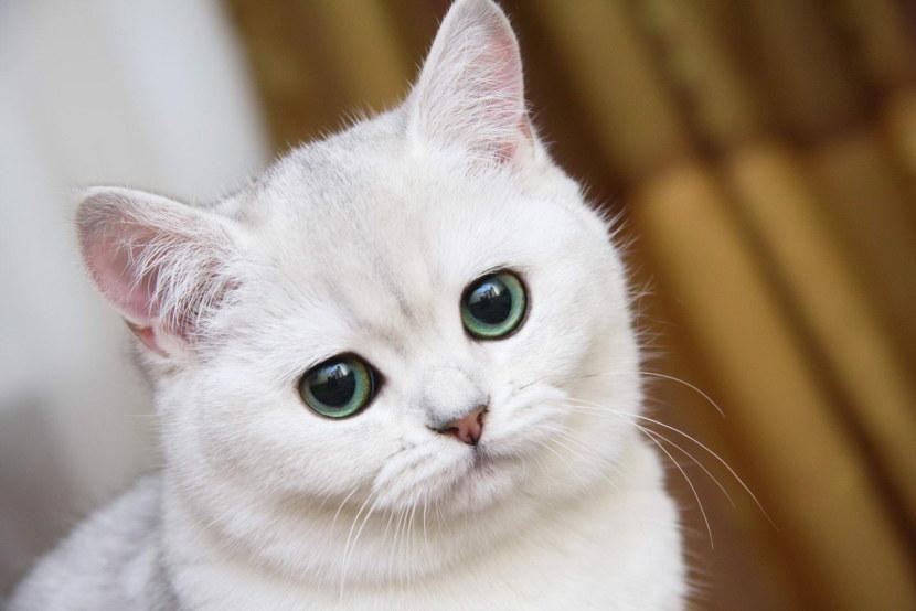 Британская голубая кошка - описание породы и характера