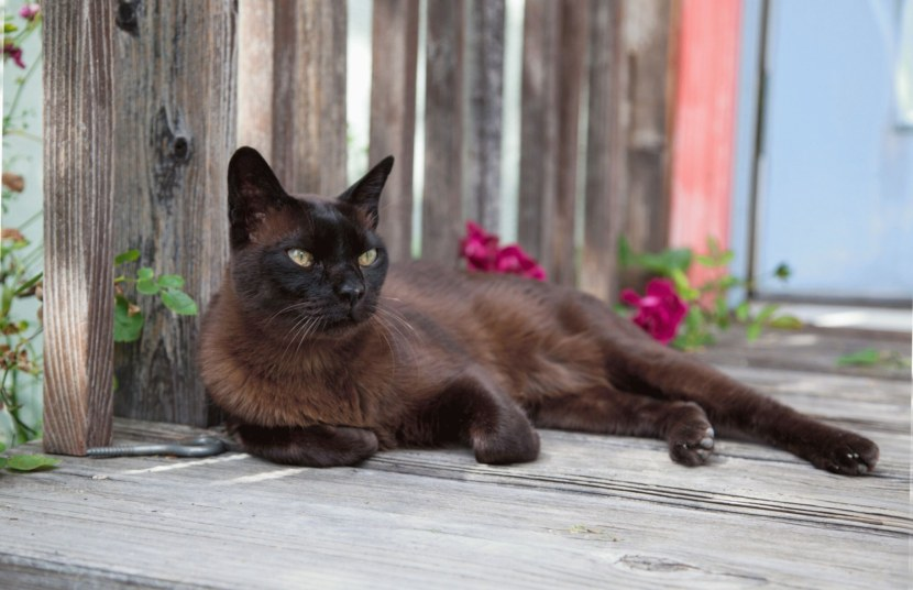 Кошки бурма породы фото