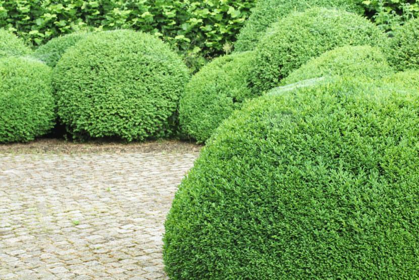 Декоративные кустарники для сада с фото и названиями