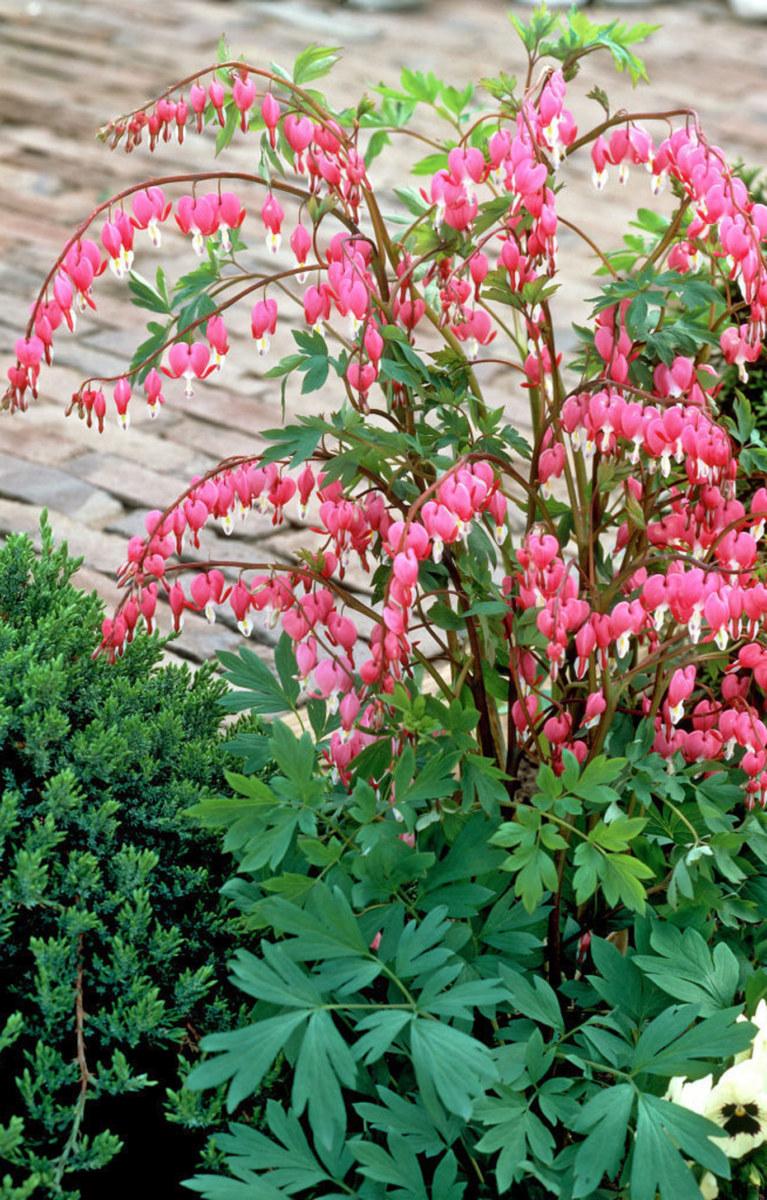 садовые цветы любящие тень фото и название можно было встретить