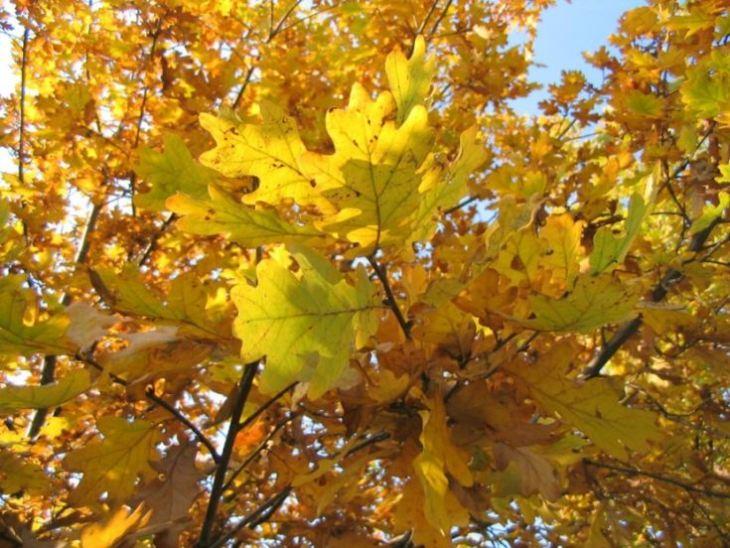 Дерево Дуб