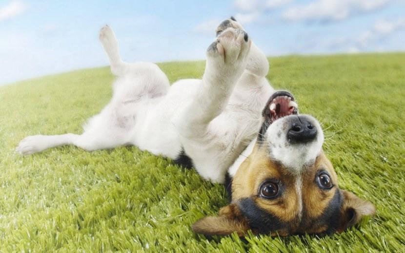 Порода собаки джек рассел терьер