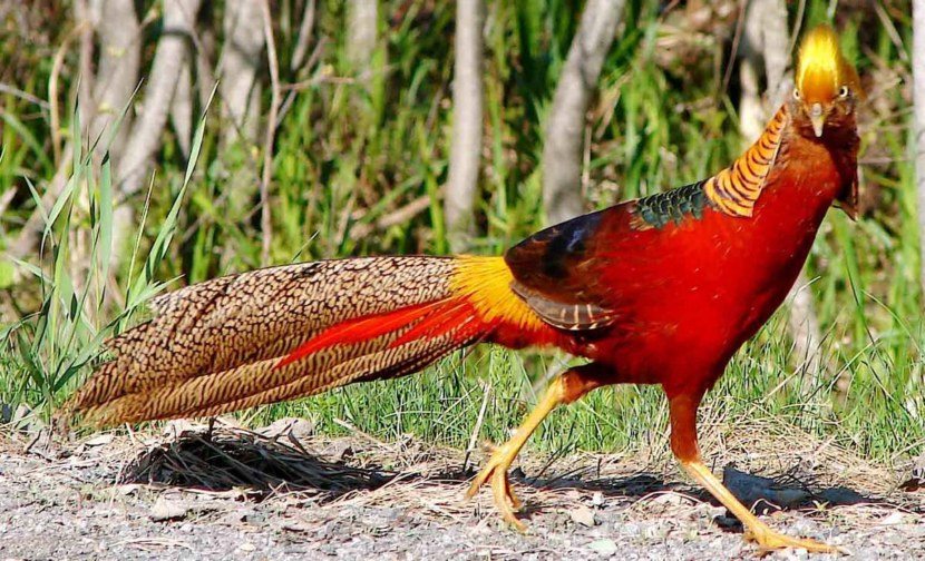 Серебряный, алмазный, золотой фазан и другие «ювелирные» породы птицы!