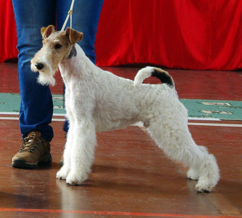 Порода собаки Фокстерьер