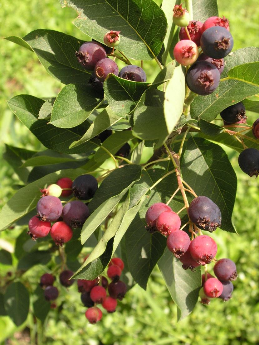 Ягодные деревья фото и названия