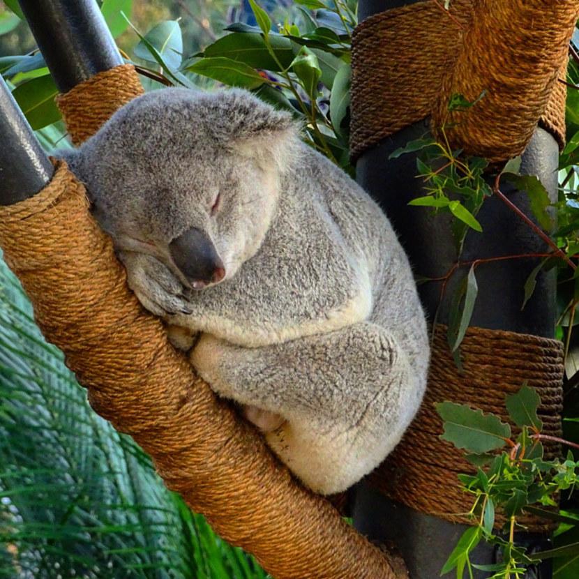 при коала фото животного разновидности красной