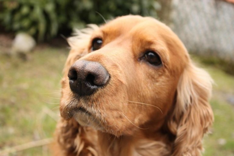 Характеристика собаки кокер спаниель