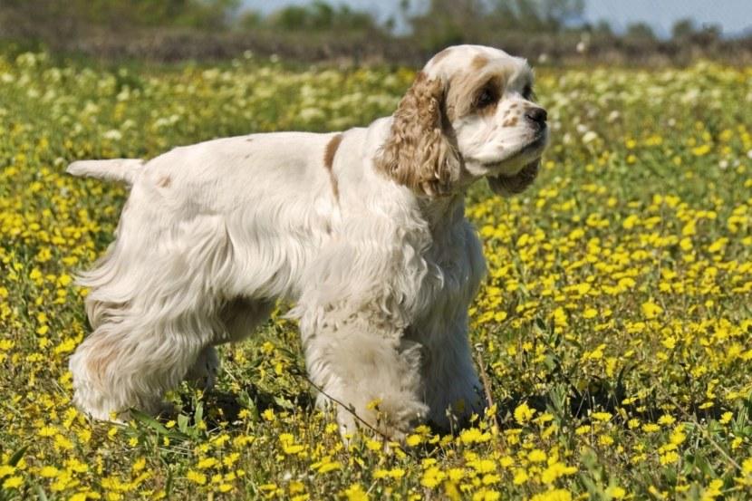 Собака кокер спаниель