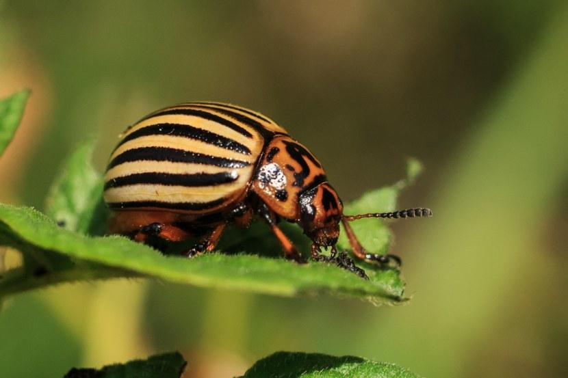 Колорадский жук описание для детей