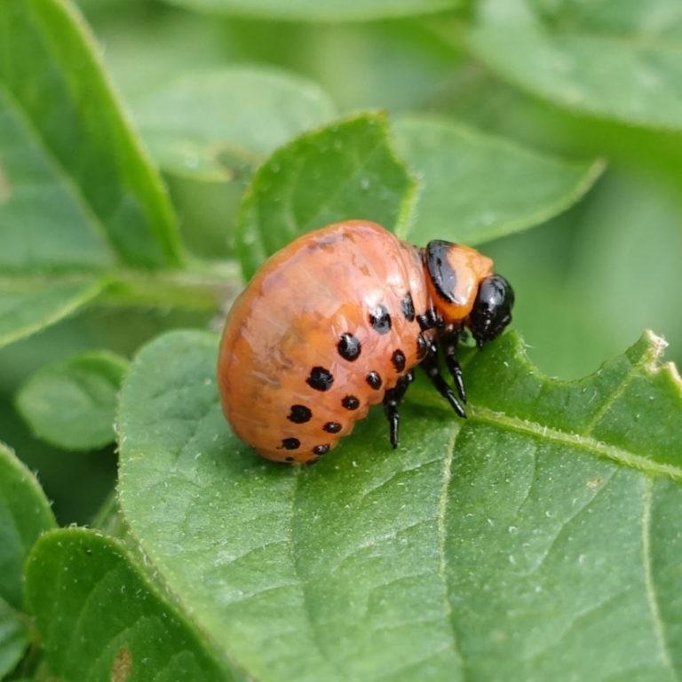 засунул личинки колорадского жука фото активно