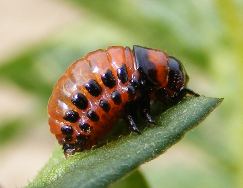 делали его личинки колорадского жука фото вышло