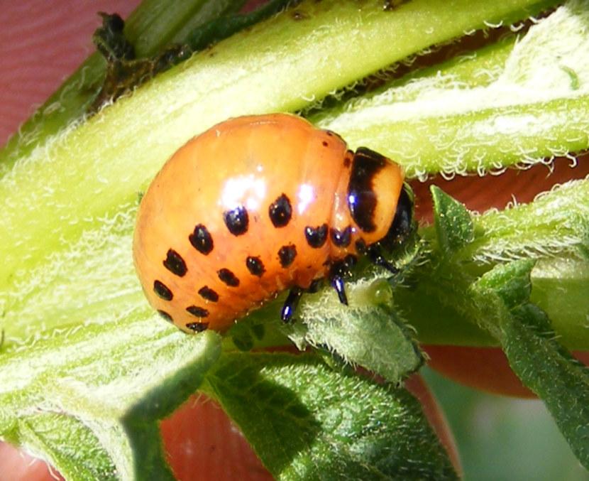 шнур это личинки колорадского жука фото нашей семье
