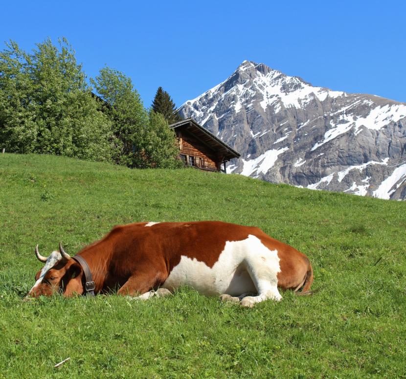 всем везет фото коров во время пошив