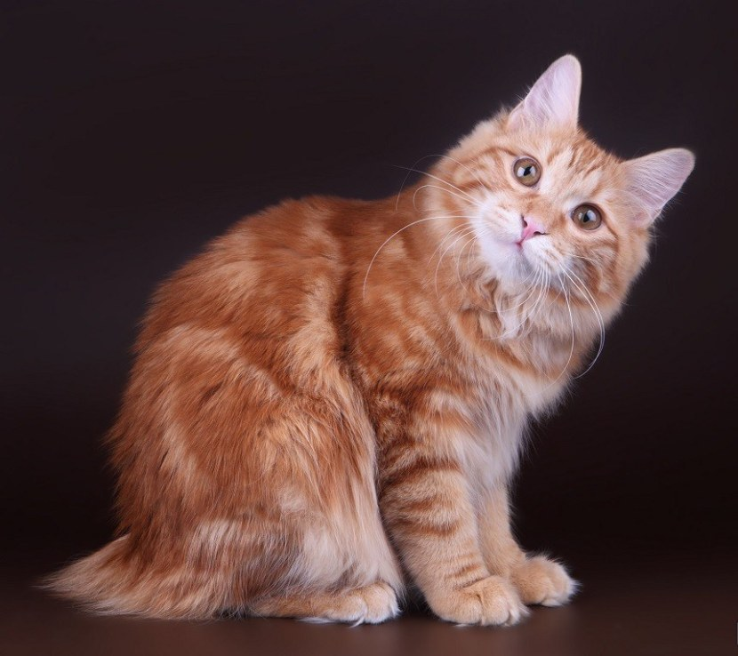 камчатский бобтейл кошка фото