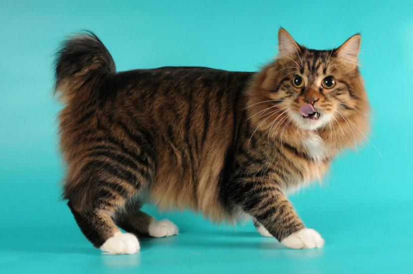 Курильский бобтейл – обзор породы и условия содержания кошек