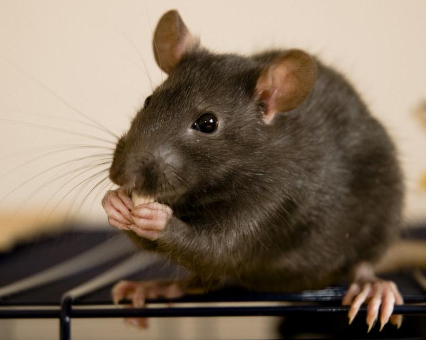 Крыса кушает