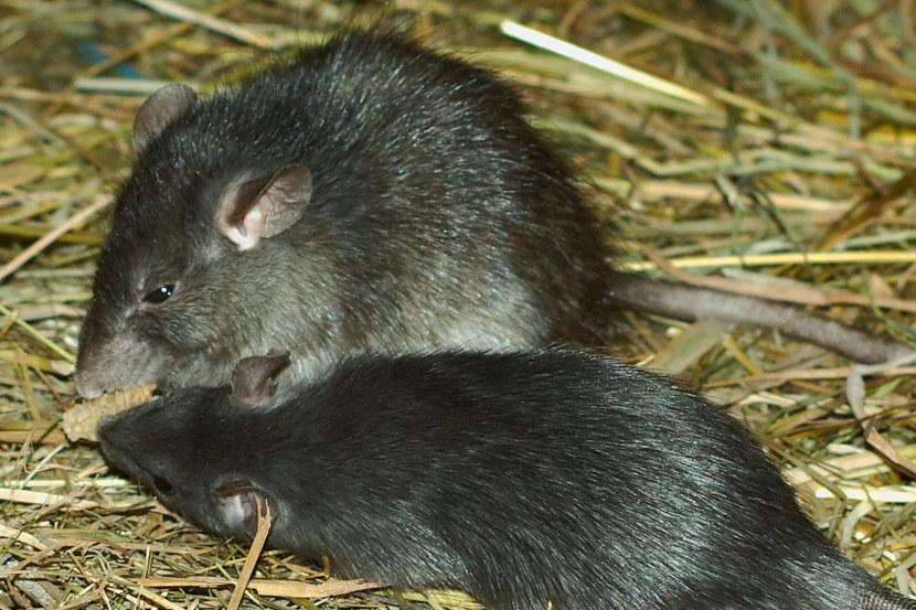 Две крыски