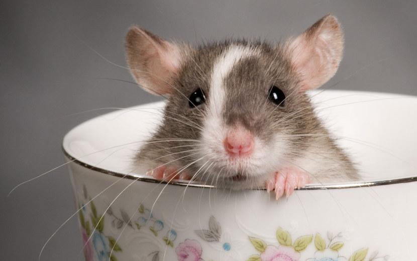 Чем отличаются крысята от мышат