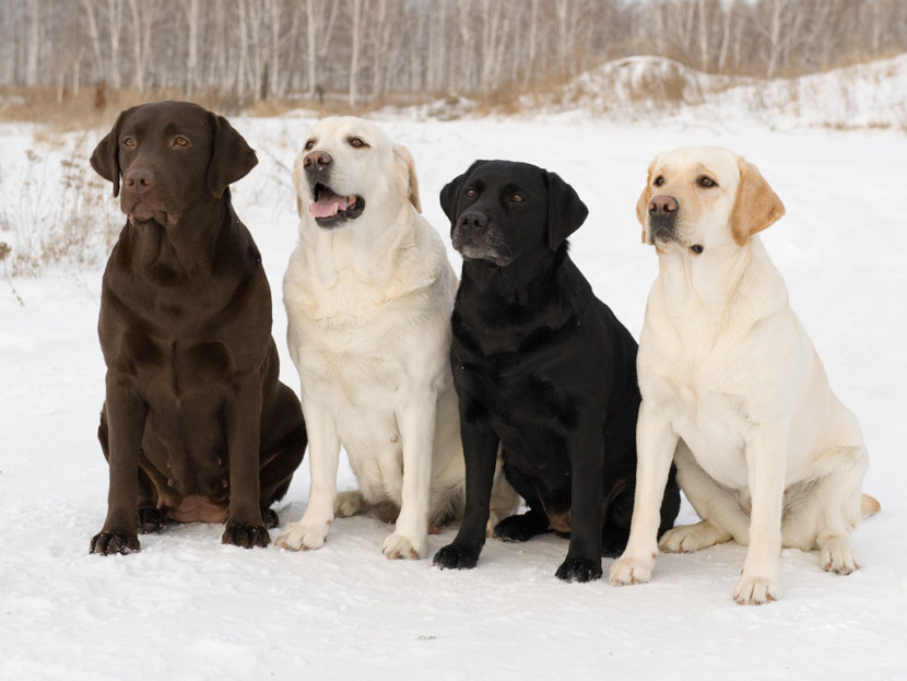 собака лабрадор картинки