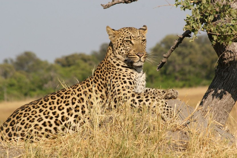 Фотоальбом леопард красивые девушки для работы продавцом