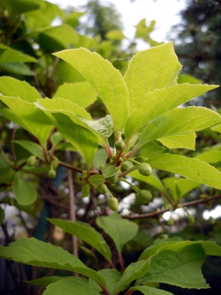 Листья лимонника фото