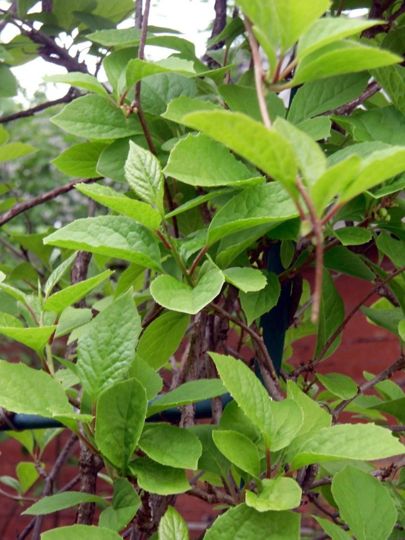 Лимонник неотразимой красоты цветы и полезные плоды