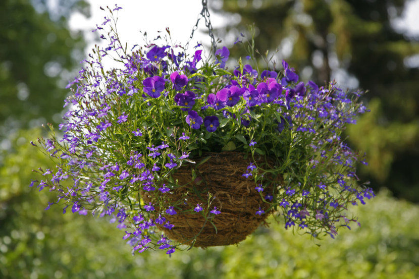 Лобелия пурпурная описание и характеристика
