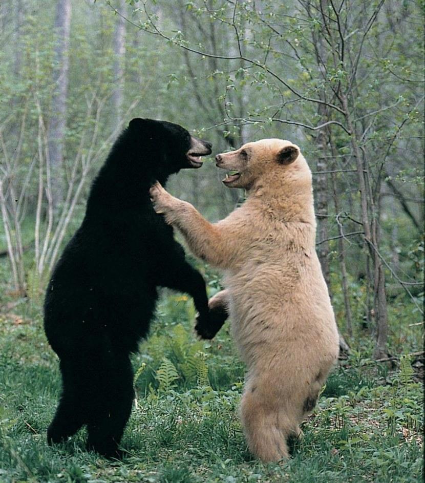 Фото медведь бурый