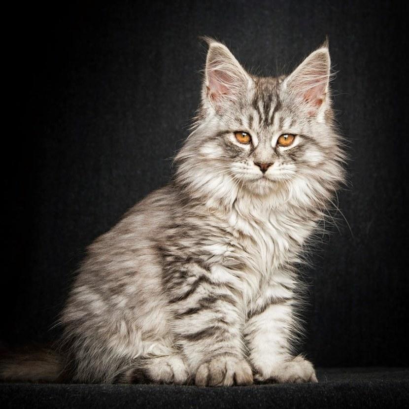 Картинки кошек порода мейн кун