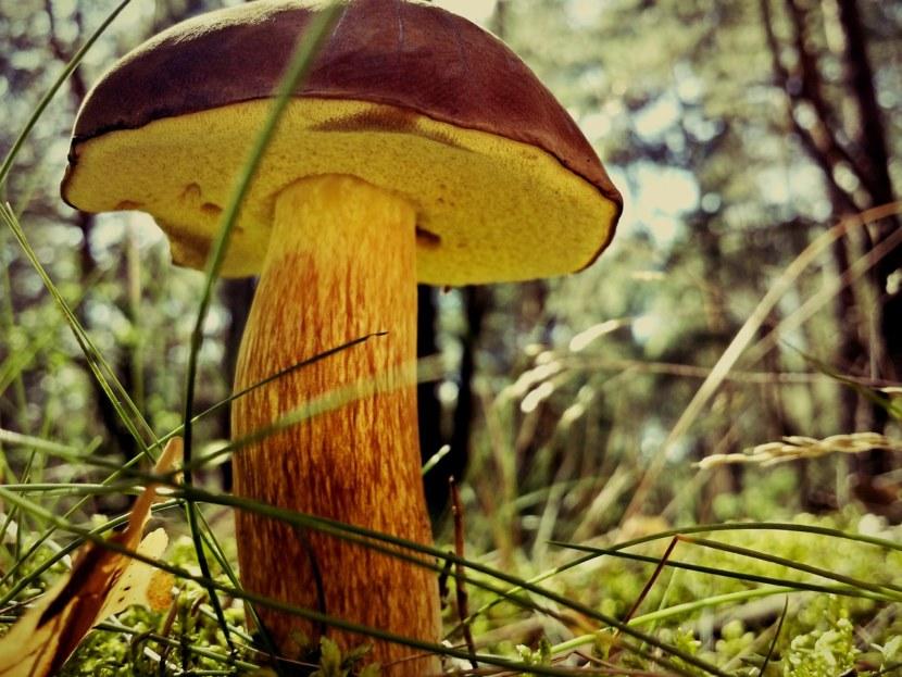 На фото гриб Моховик